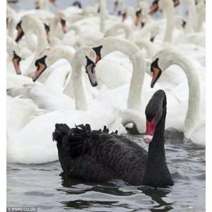 Black Swan beauty