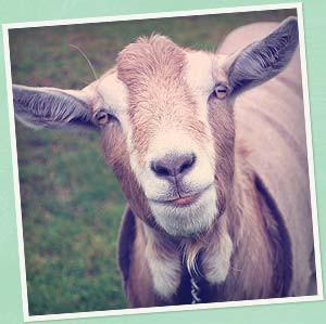 goat-photo